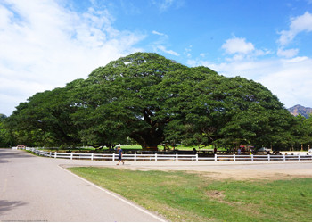 The giant rain tree