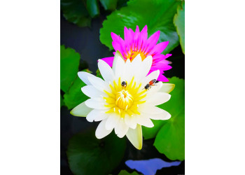 Egyptian white and pink lotus