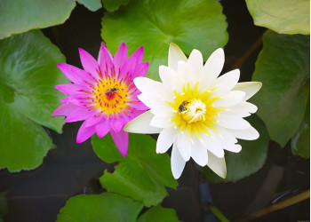 Egyptian white and a pink lotus